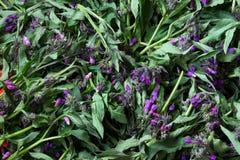 Starflower, υπόβαθρο Borago Officinalis Στοκ Φωτογραφίες