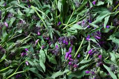 Starflower, υπόβαθρο Borago Officinalis Στοκ εικόνα με δικαίωμα ελεύθερης χρήσης