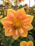 黄色Starflower 库存图片