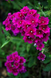 Starflower Photographie stock
