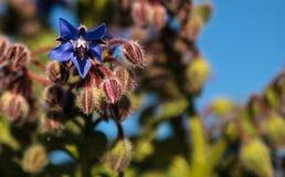 Starflower azul conocido como officinalis de la borraja Imágenes de archivo libres de regalías