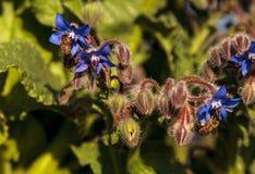 Starflower azul conocido como officinalis de la borraja Foto de archivo libre de regalías