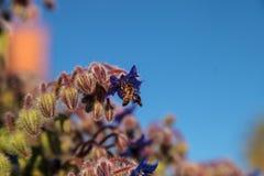 Starflower azul conocido como officinalis de la borraja Fotos de archivo libres de regalías