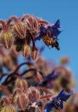 Starflower azul conocido como officinalis de la borraja Imagen de archivo