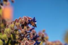 Starflower azul conocido como officinalis de la borraja Imagen de archivo libre de regalías
