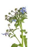 Starflower (Borage) изолированное на белой предпосылке Стоковые Изображения RF