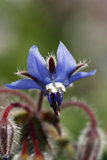 Starflower Borage lizenzfreies stockbild
