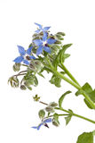 Starflower (Borage) isolated on white background. Blue Starflower (Borage) isolated on white background Royalty Free Stock Photo