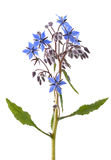 Starflower Royalty Free Stock Photography