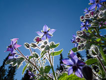 Starflower, Borago officinalis Royalty Free Stock Photo