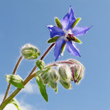 Starflower, Borago officinalis, bloosom and buds Royalty Free Stock Photo