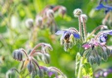 Starflower con la abeja Imagen de archivo libre de regalías