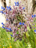 Starflower d'officinalis de Borago de bourrache Photos stock