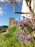 Starflower d'officinalis de Borago de bourrache près de mur de château Photographie stock