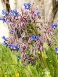 Starflower dos officinalis do Borago do Borage Fotos de Stock