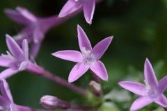 Starflower Stock Photo