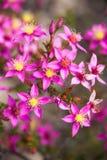 Starflower púrpura macro del wildflower nativo de Australia occidental Foto de archivo