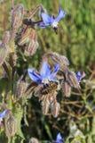 Starflower y abeja Imagen de archivo libre de regalías