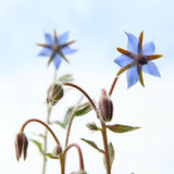 Starflowers Stock Photography