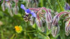 Starflowers y abeja Fotos de archivo libres de regalías
