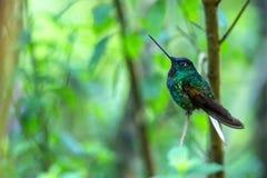 Starfrontlet dalla coda bianca che si siede sul ramo, colibrì dalla foresta tropicale, Colombia, uccello che si appollaia, uccell immagini stock libere da diritti