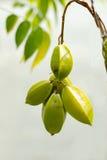 starfruit Стоковые Изображения RF