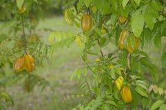 Starfruit obwieszenie na drzewie zdjęcia stock