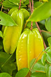 Starfruit on Tree Stock Photos