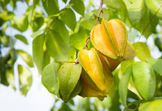 Starfruit on tree Stock Photo