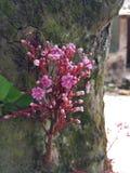 Starfruits blommor Royaltyfri Fotografi