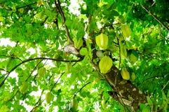 Starfruits-Fall auf Baum lizenzfreies stockbild