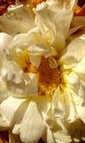 Stargate of white marigold Royalty Free Stock Image