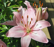 Stargazer asiatic lily in full bloom Royalty Free Stock Photos