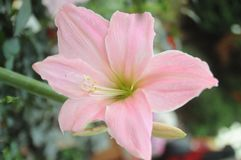 Stargazer flower. Inside flower dome singapore Stock Photography