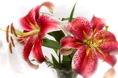 Stargazer Lilies stock images