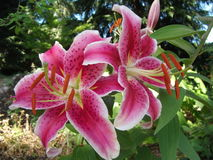 STARGAZER LILY. Lilies fill the garden with fragrance Stock Image