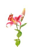 Stargazer lilies isolated on white background Stock Image