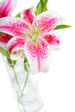 Stargazer Lilies in Vase. Beautiful pink stargazer lilies in vase on white background Stock Photo