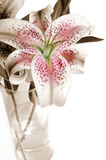 Stargazer Lilies in Vase. Beautiful Stargazer lilies in vase on white background.  Sepia toned with selective coloring Stock Photos