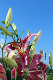 Stargazer Lilles in the Sky. Pink Stargazer Lilies set against a blue sky stock image