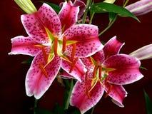 Stargazer Lillies Immagini Stock