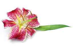 Stargazer Lilly Stockfoto