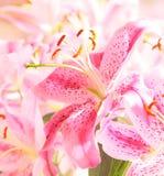 Stargazer lilly στοκ φωτογραφία με δικαίωμα ελεύθερης χρήσης