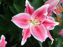Stargazer lilly royalty free stock photography