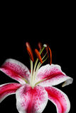 Stargazer Lily Stock Photos