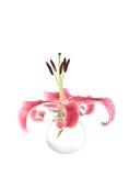 Stargazer lily Royalty Free Stock Photo