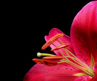 Stargazer Lily 2 Stock Images