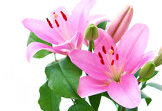 Stargazer lily Stock Images