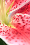 Stargazer Lily abstract Royalty Free Stock Photos