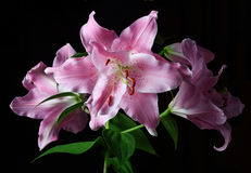 Stargazer Lily Stock Photography
